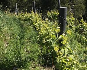 Vineyard Weeds